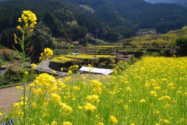 江田の菜の花2