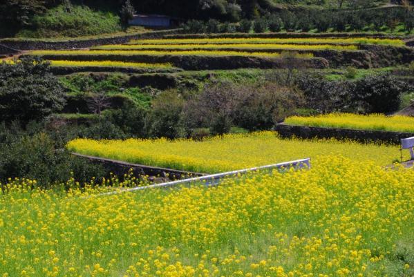 江田の菜の花3