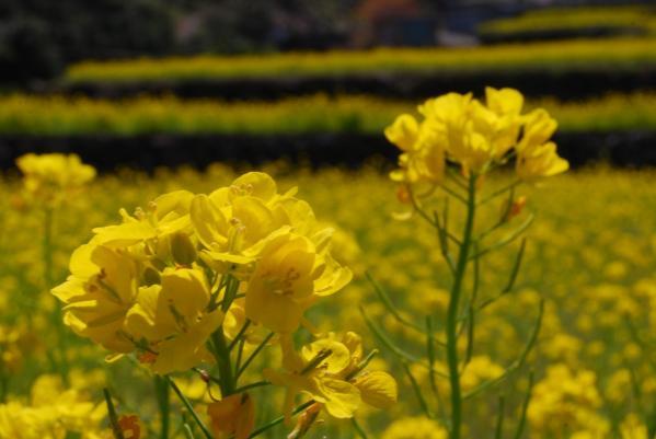 江田の菜の花4