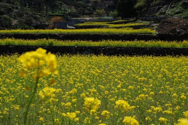 江田の菜の花5