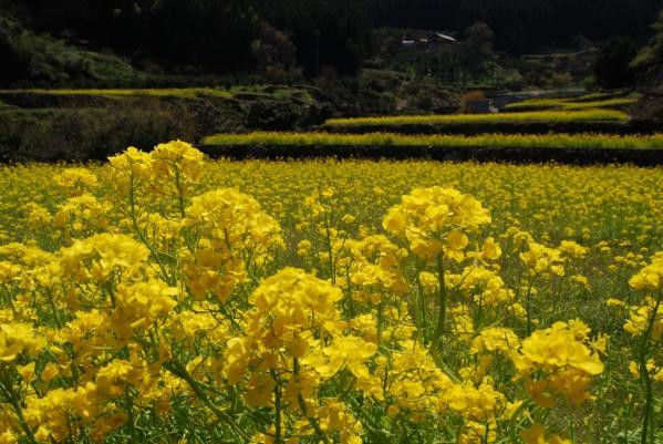 江田の菜の花6
