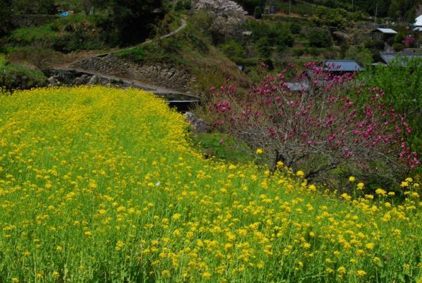 江田の菜の花8
