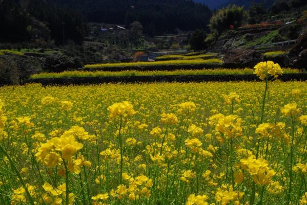 江田の菜の花9
