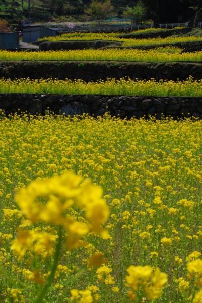 江田の菜の花10