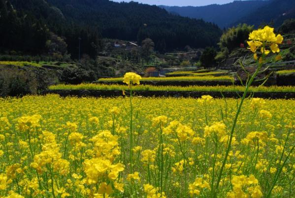 江田の菜の花11
