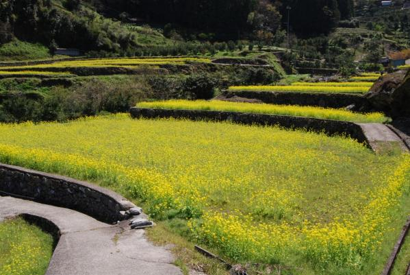 江田の菜の花12