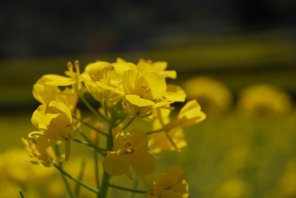 江田の菜の花13