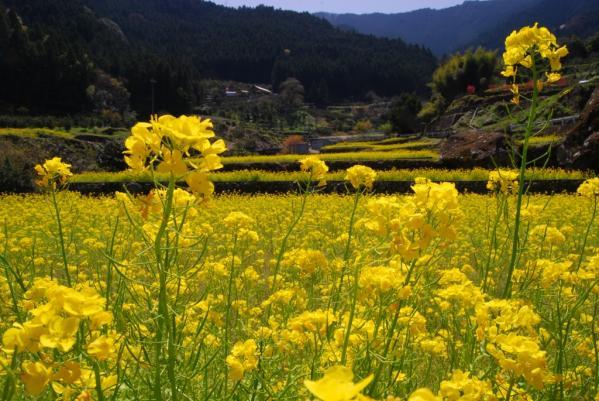 江田の菜の花14
