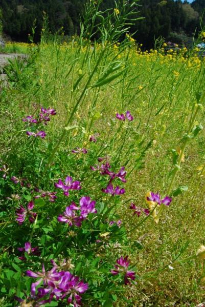 江田の菜の花15