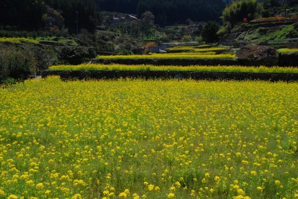 江田の菜の花16