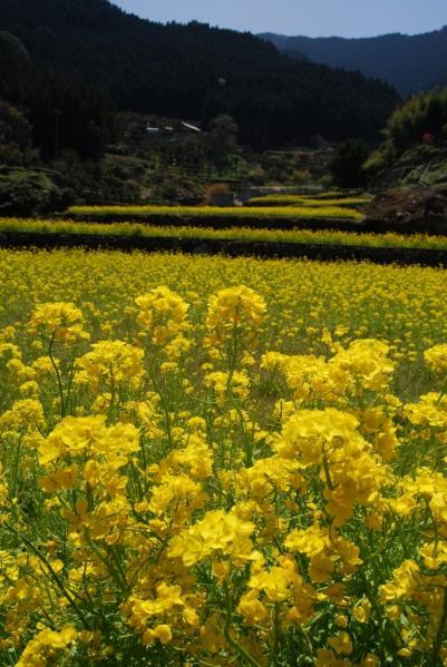 江田の菜の花17