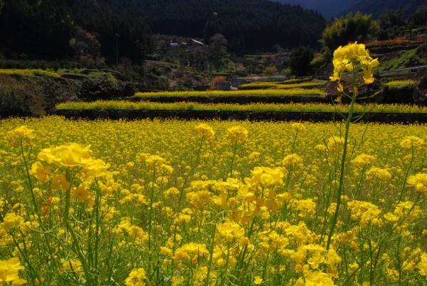 江田の菜の花19