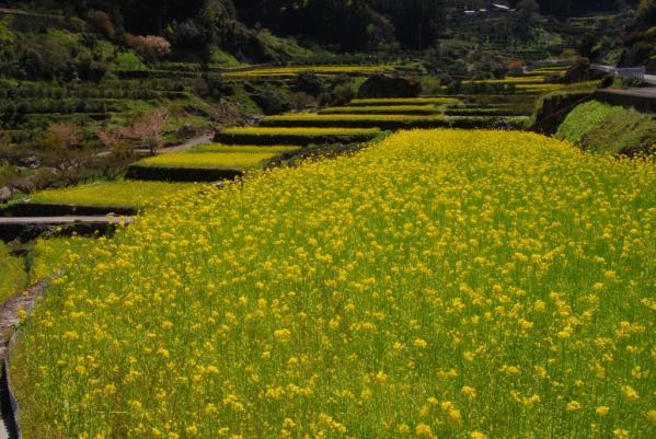 江田の菜の花20