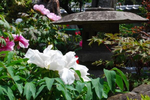 観音寺牡丹12