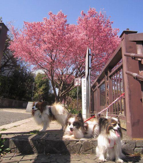 オカメ桜とわんこ