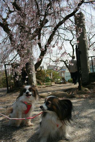アリタバしだれ桜