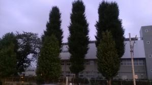 中学校前の大木