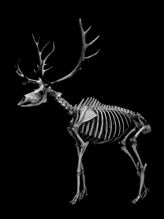 144 トナカイ 骨格  Reindeer Skeleton_convert_20131104122927