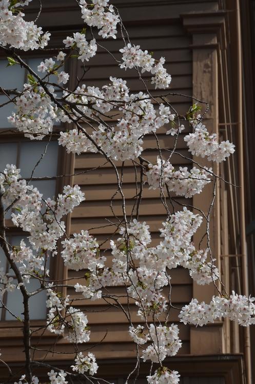 桜-1-1