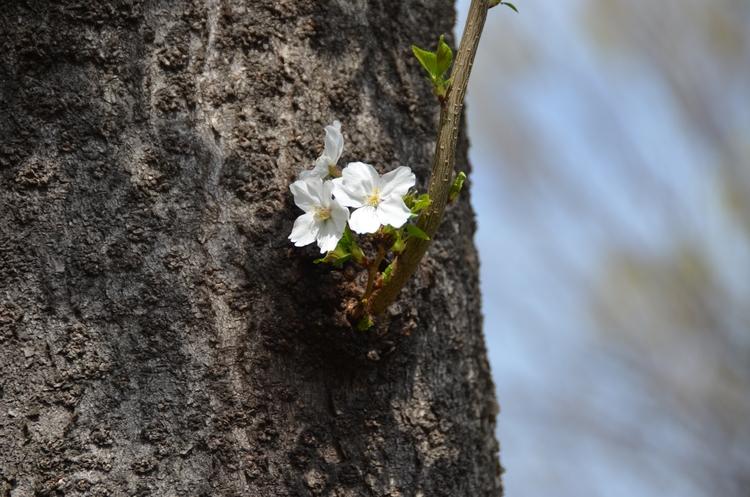 桜-1-3