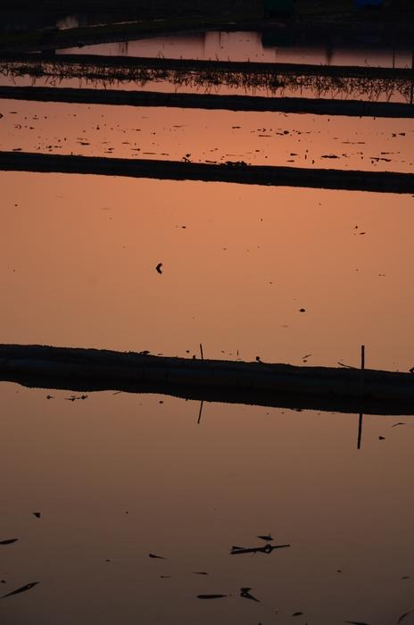 レンコン畑の夕陽-3