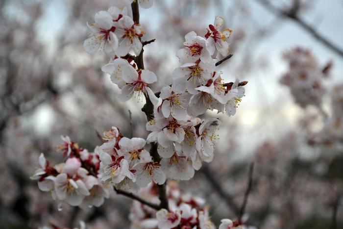 桜-2-1