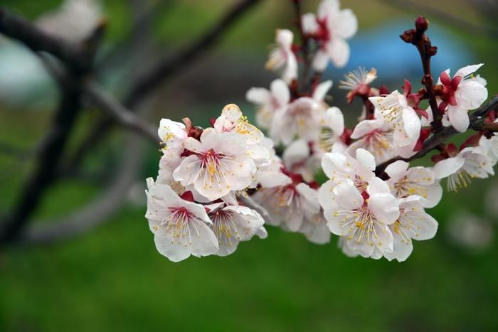 桜-2-2