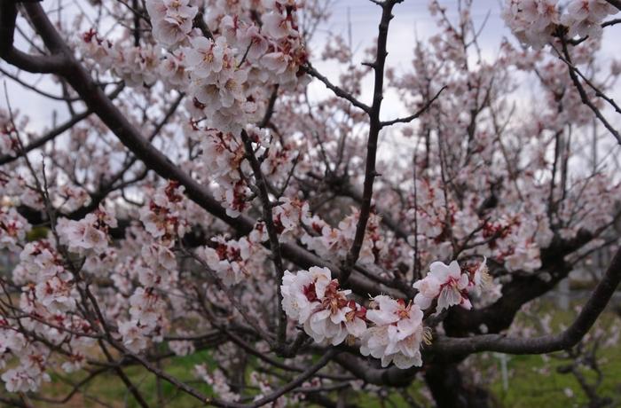 桜-2-3