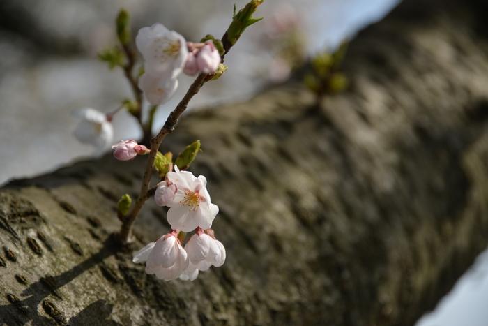 桜-3-1