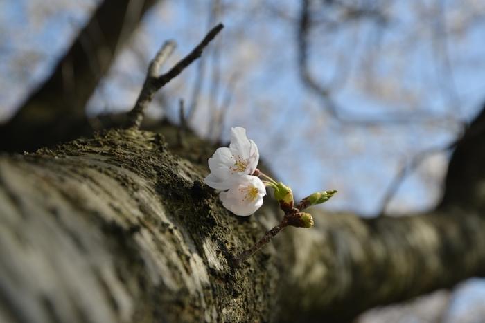 桜-3-2
