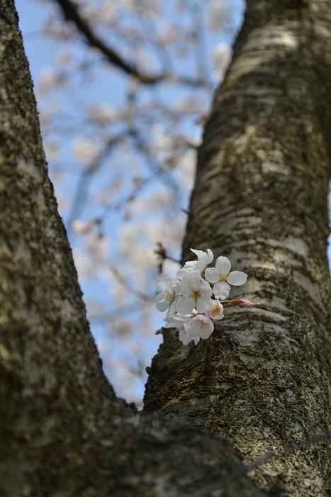 桜-3-3