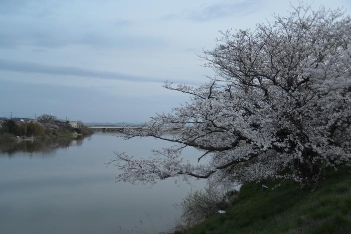 桜-4-1