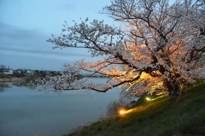 桜-4-2