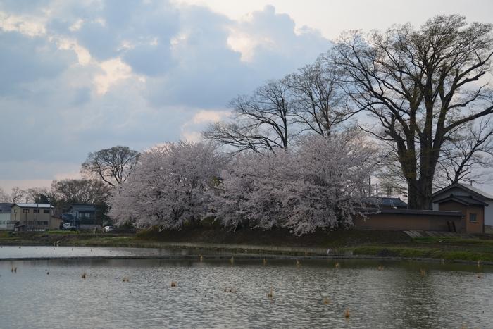 レンコン畑と桜-1