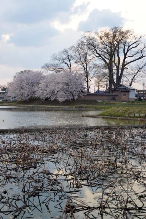 レンコン畑と桜-2