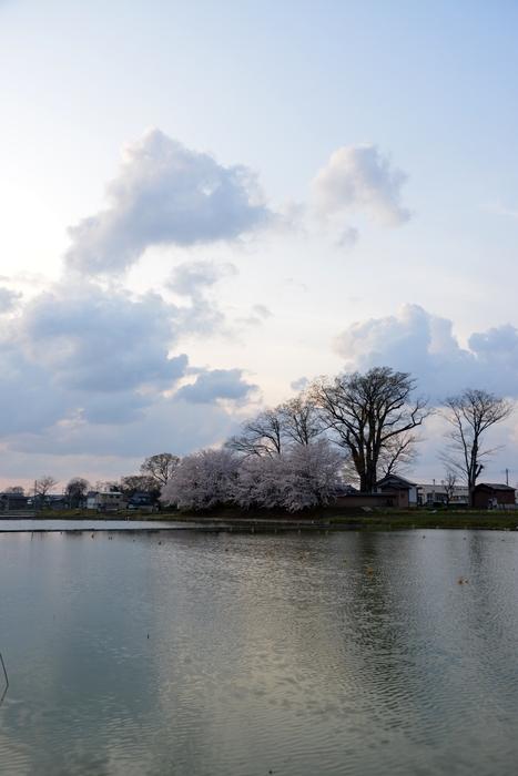 レンコン畑と桜-3