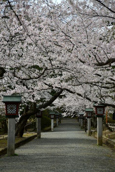 桜-6-1