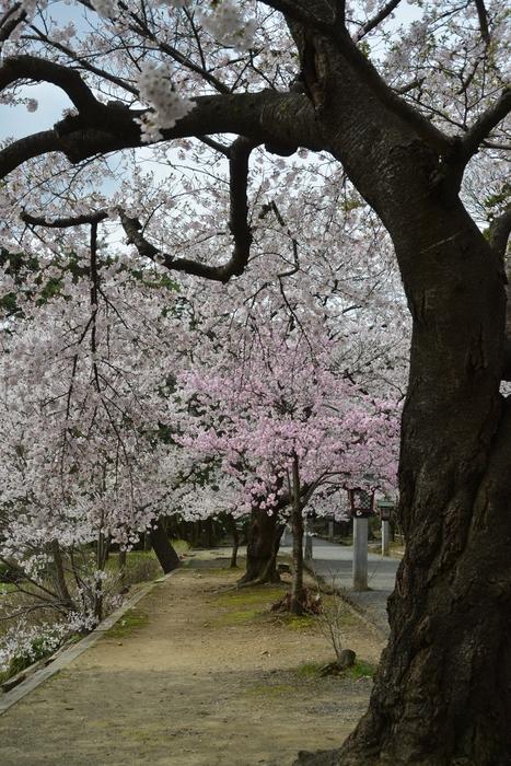 桜-6-2