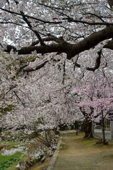 桜-6-4