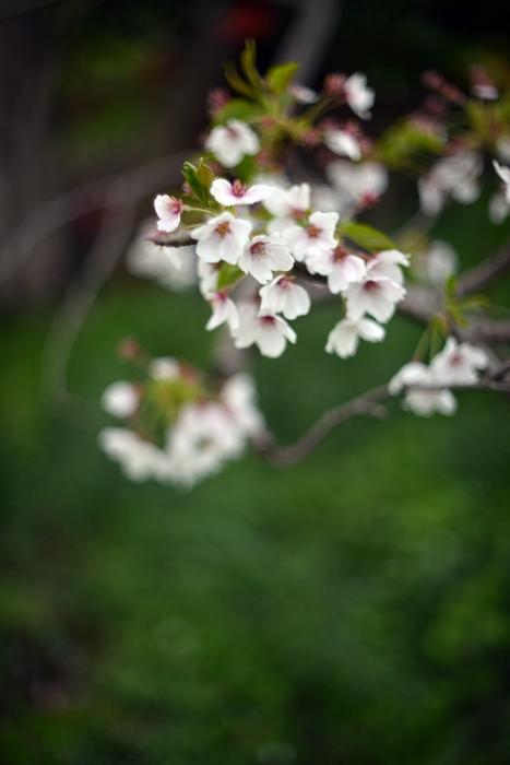 桜-7-1