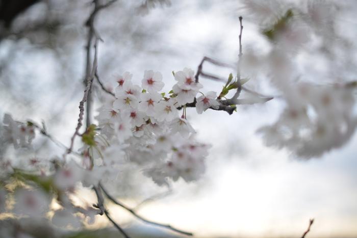 桜-7-2