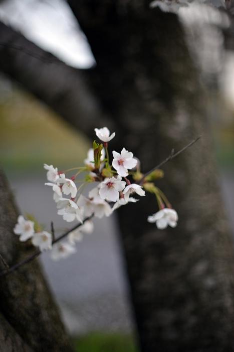 桜-7-3