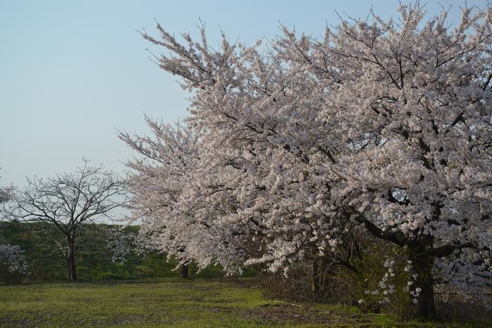 桜 朝・夕-1