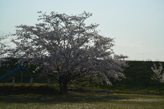 桜 朝・夕-3