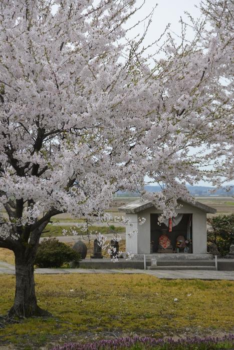 桜とお地蔵さん-1