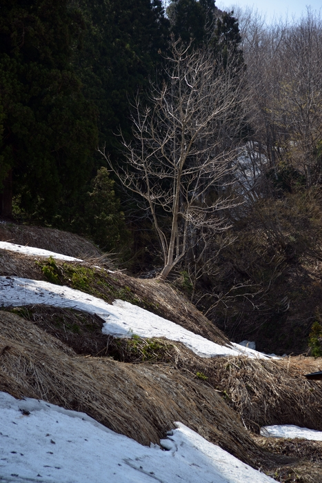 里山の残雪-2