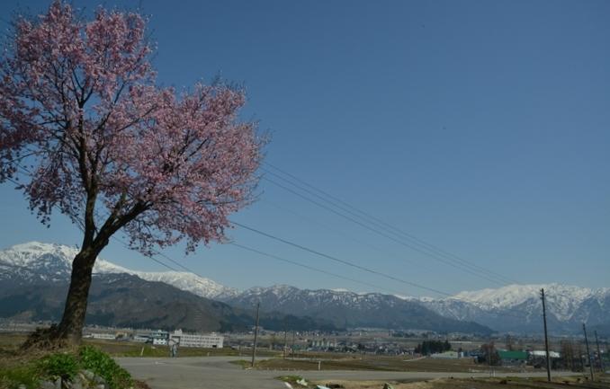 桜と残雪-1