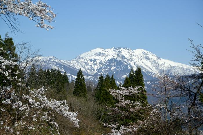 桜と残雪-2