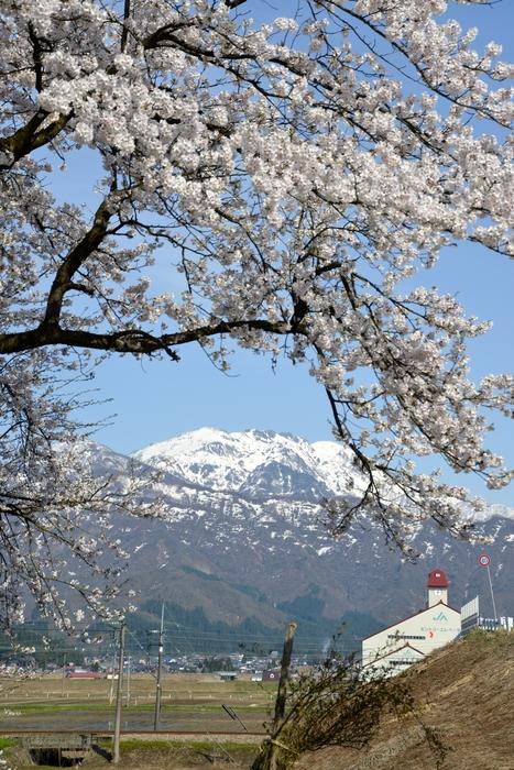 桜と残雪-3