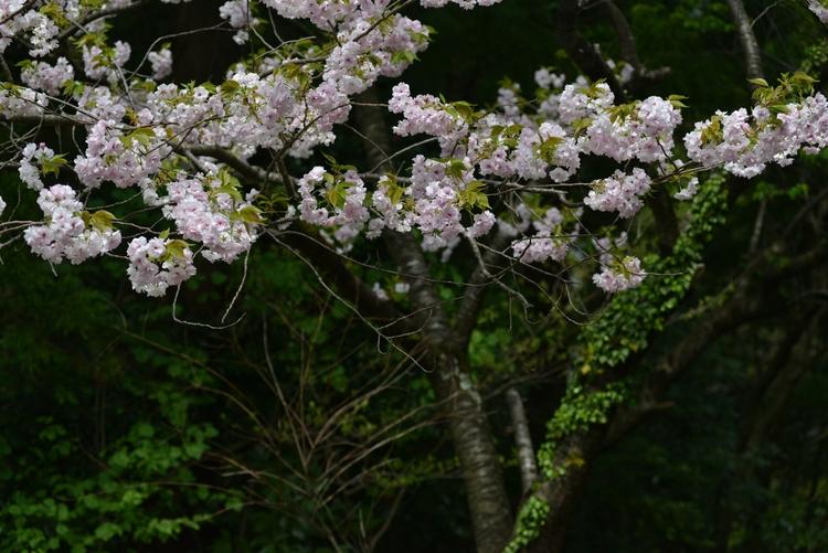 八重桜 Ⅱ-1